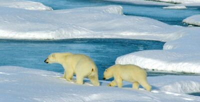Melting Ice And Polar Bears S.