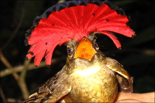 Amazonian Royal Flycatcher 1sr