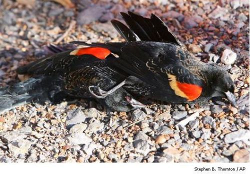 Birds And Fish Dying In Arkansas1   Stephen B. Thornton   Ap Sr