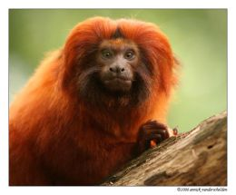 Golden Lion Tamarin 3 S