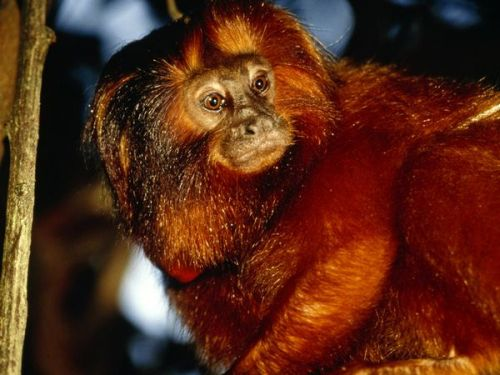 Golden Lion Tamarin Sr