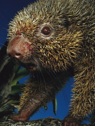 Mark Moffett Thin Spined Porcupine Sr